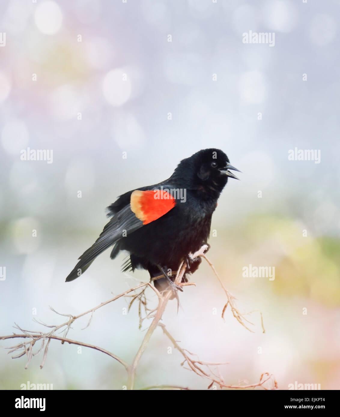Singing Red Wing Blackbird.Spring Time. - Stock Image