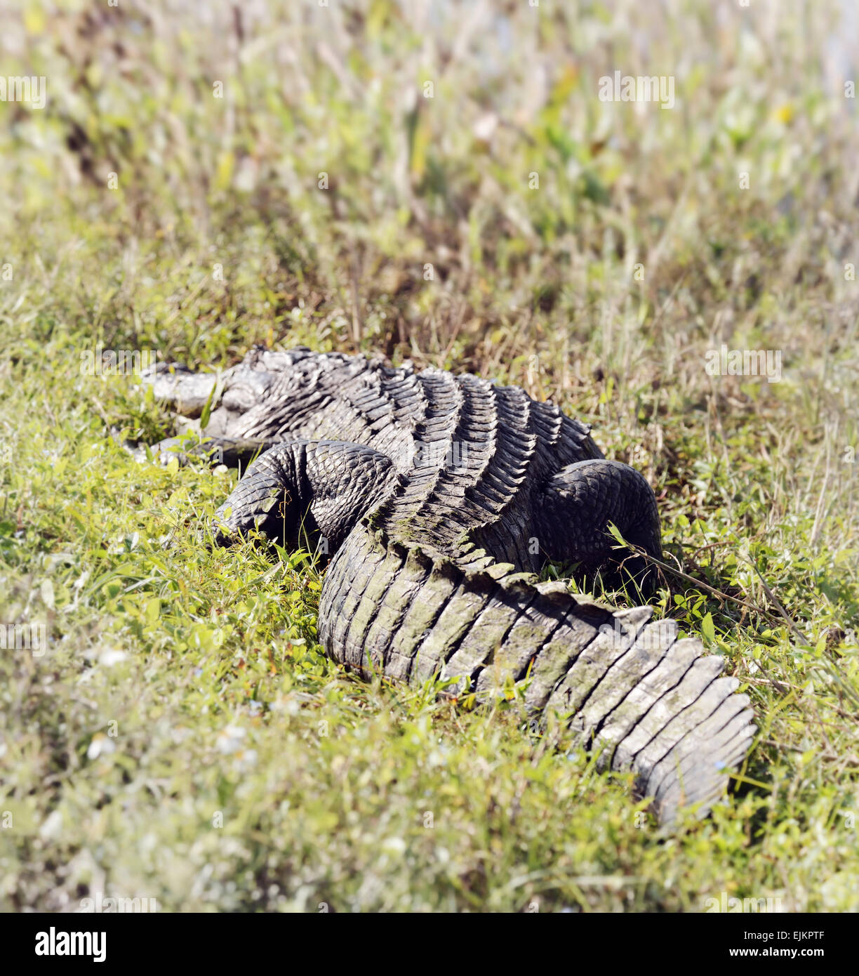 American Alligator (Alligator Mississippiensis) Basking In The Sun In  Florida Wetlands - Stock Image