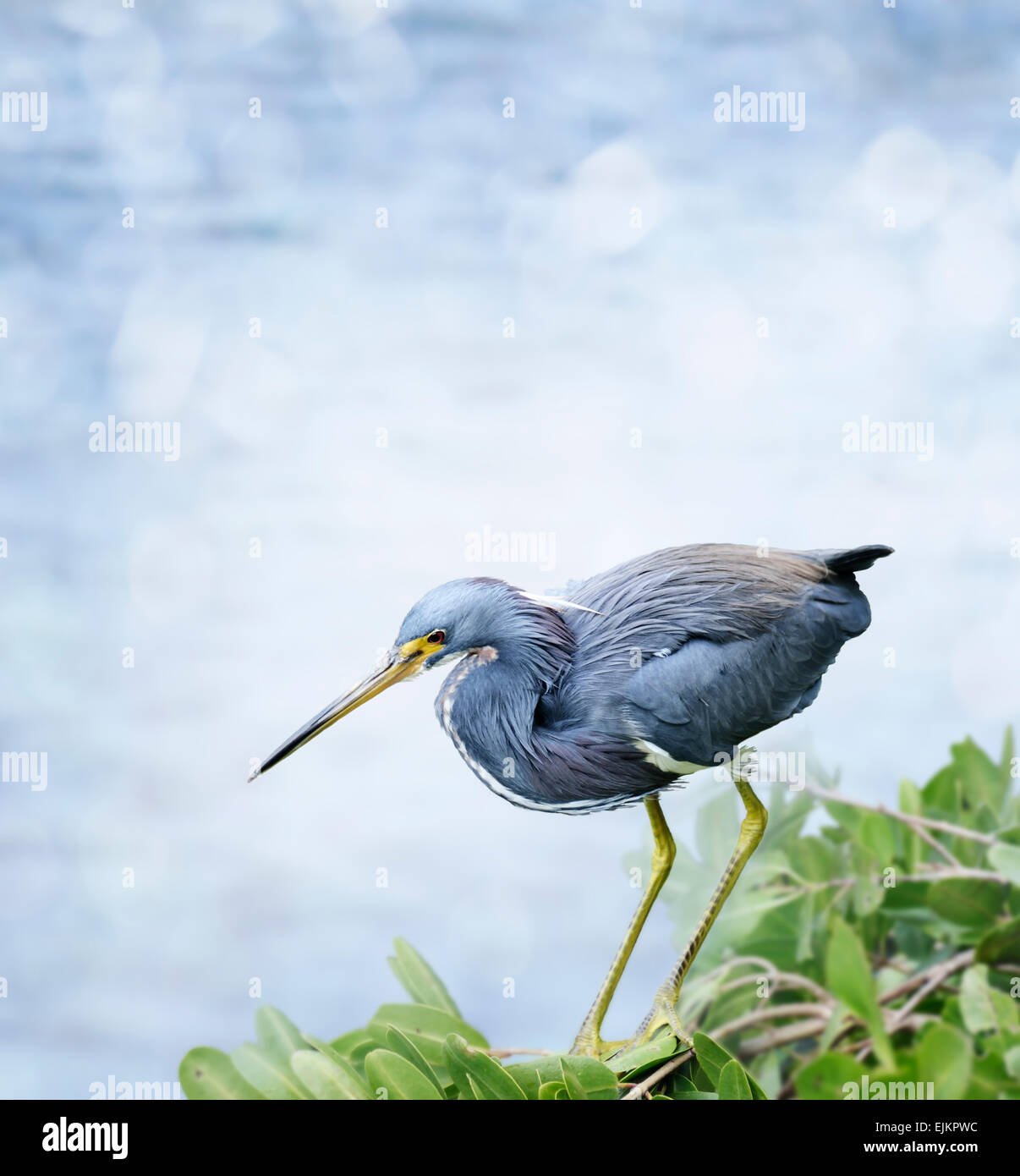 Tricolored Heron Perched On The Bush - Stock Image