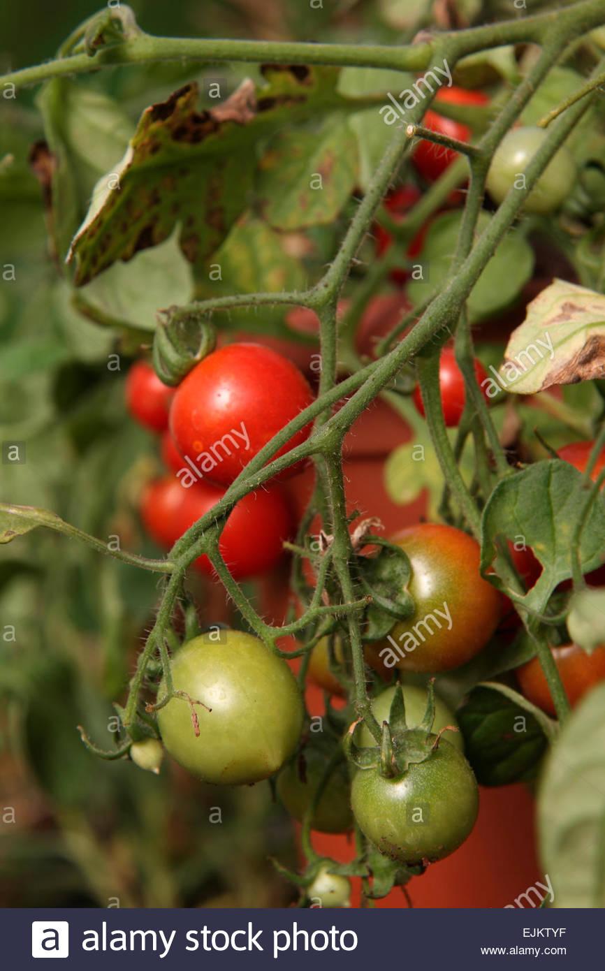 Home Grown Vegetable Crop Growing Tomato Fruit Garden Red Cherry ...