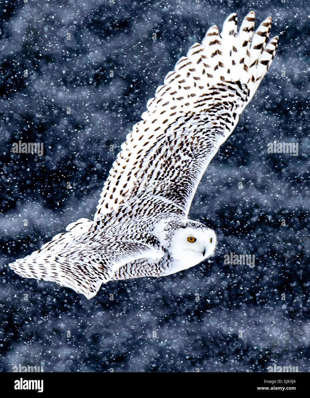 Snowy Owls can be seen roaming fields looking for food during the winter months. - Stock Image