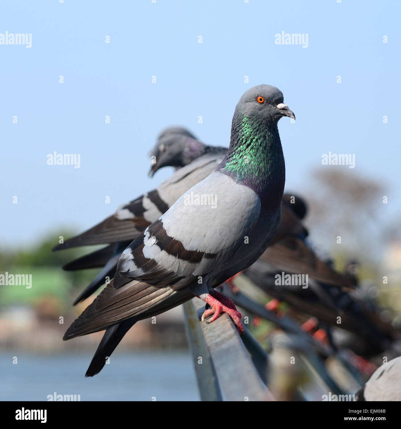 Group of pigeon stand on the bridge edge near river. - Stock Image