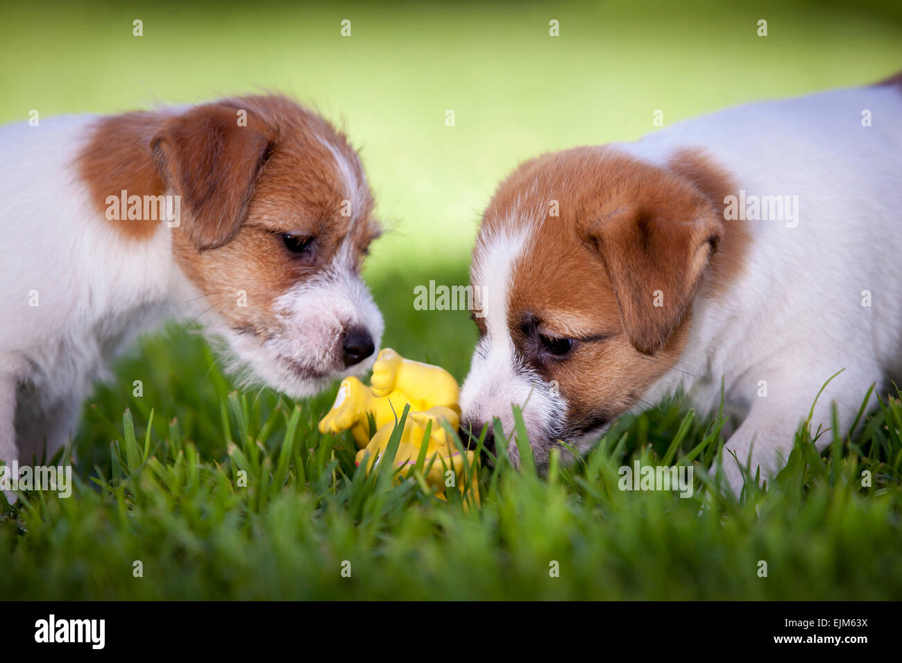 Jack Russell Terrier puppies playing with a yellow toy Stock