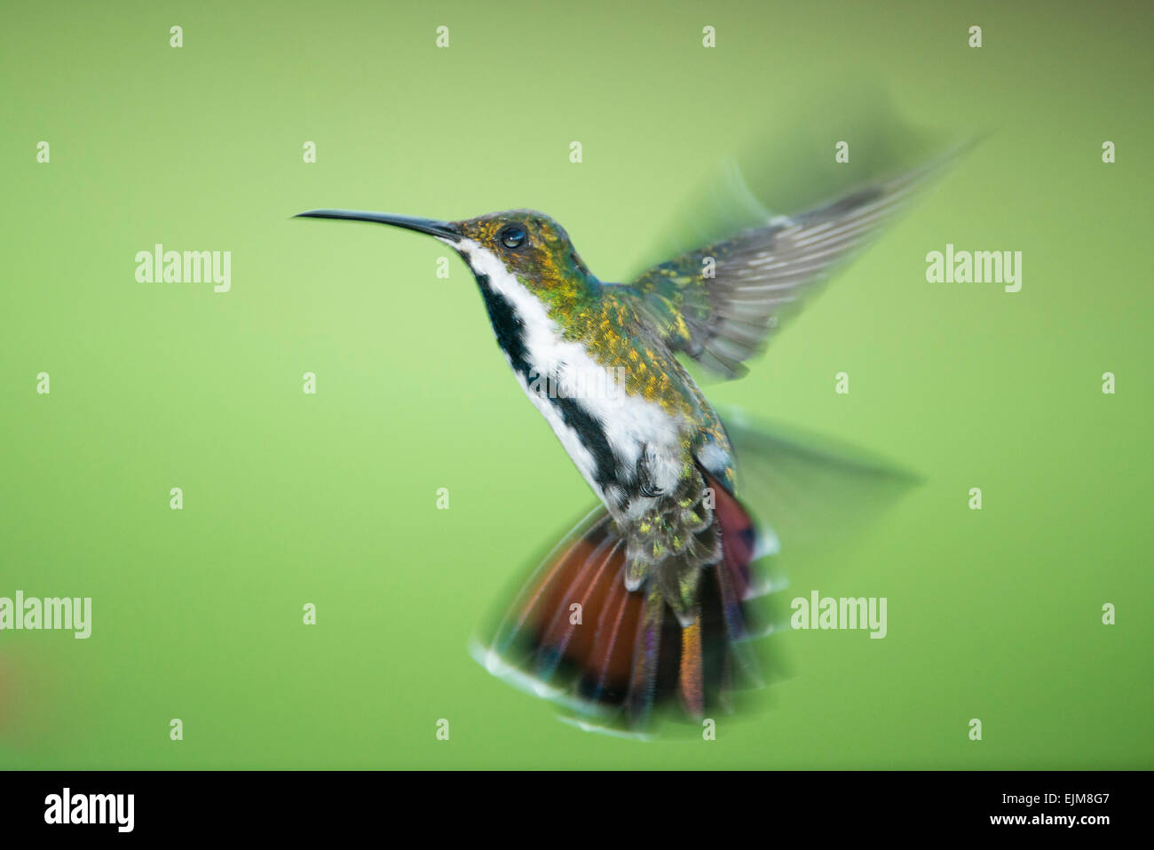 Black-throated mango, Anthracothorax nigricollis, Kabalebo Nature Resort, Suriname - Stock Image