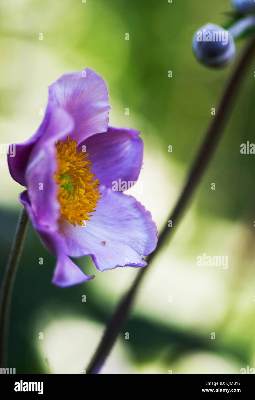 Japanese Anemone flower and bud looking out on the sunshine, green foliage in the background. - Stock Image