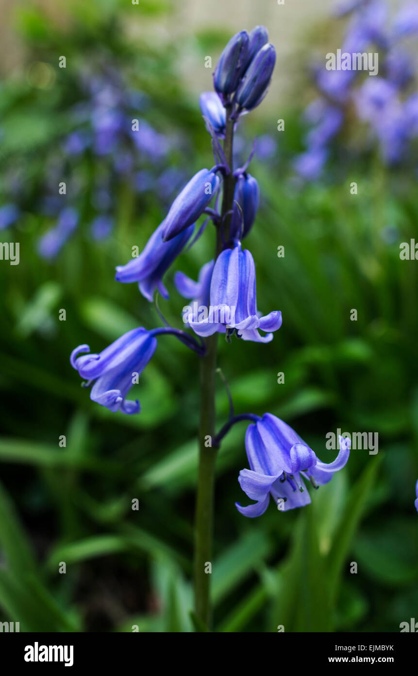 Hyacinthoides, Endymion non-scriptus or Scilla non-scripta is a bulbous perennial plant commonly known as the bluebell Stock Photo