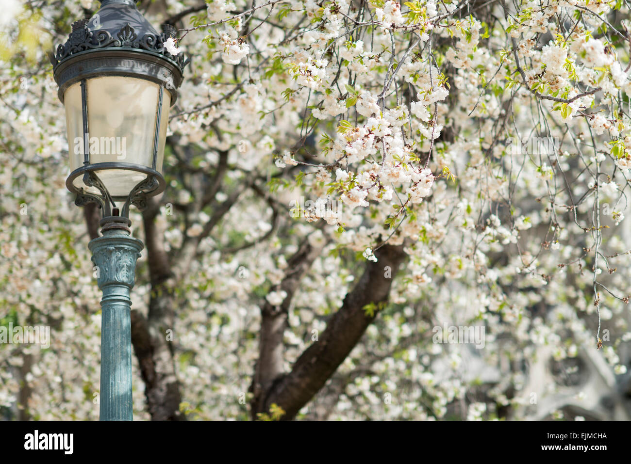 Mount Fuji cherry trees blooming in front of Notre Dame Cathedral in Paris, France - Stock Image