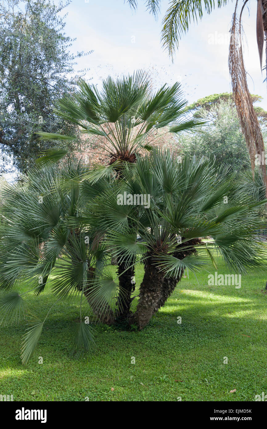 multi stemmed specimen of the european fan palm chamaerops humilis stock photo 80354671 alamy. Black Bedroom Furniture Sets. Home Design Ideas