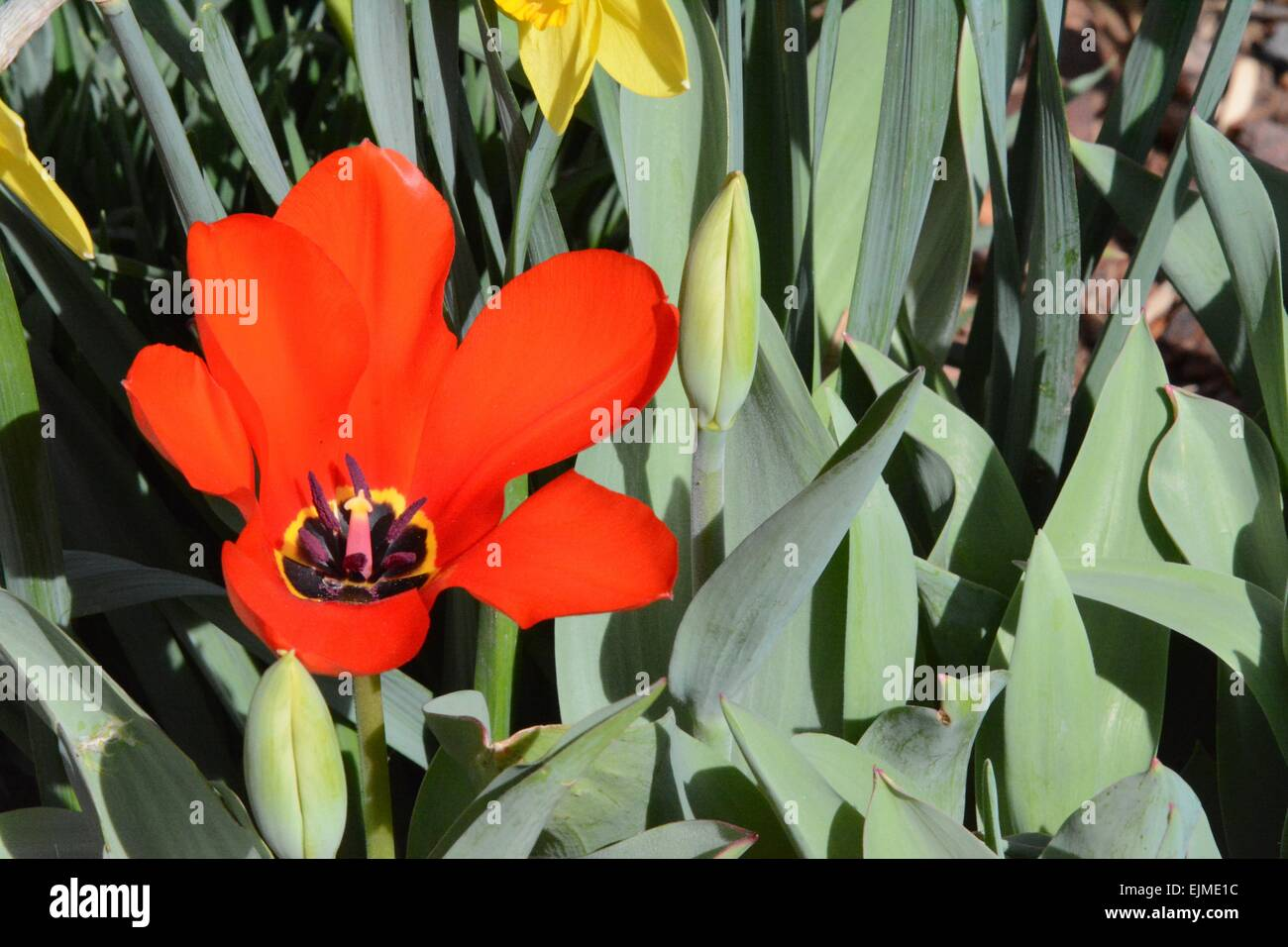 Red Tulip blossom with view of propagating organs Albuquerque, New Mexico - USA - Stock Image