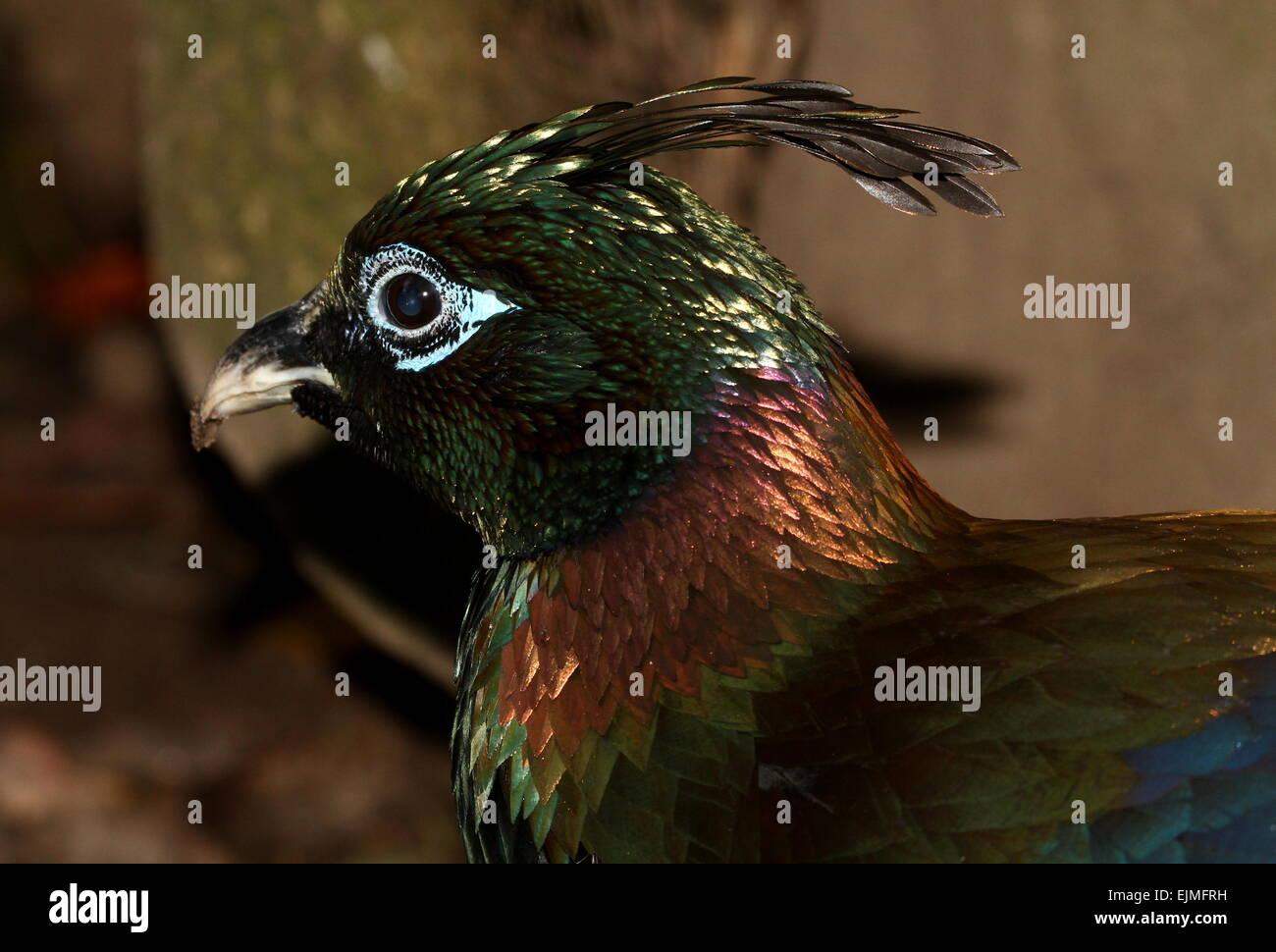 In Profile Close Up Of A Male Himalayan Monal Pheasant Lophophorus Impejanus