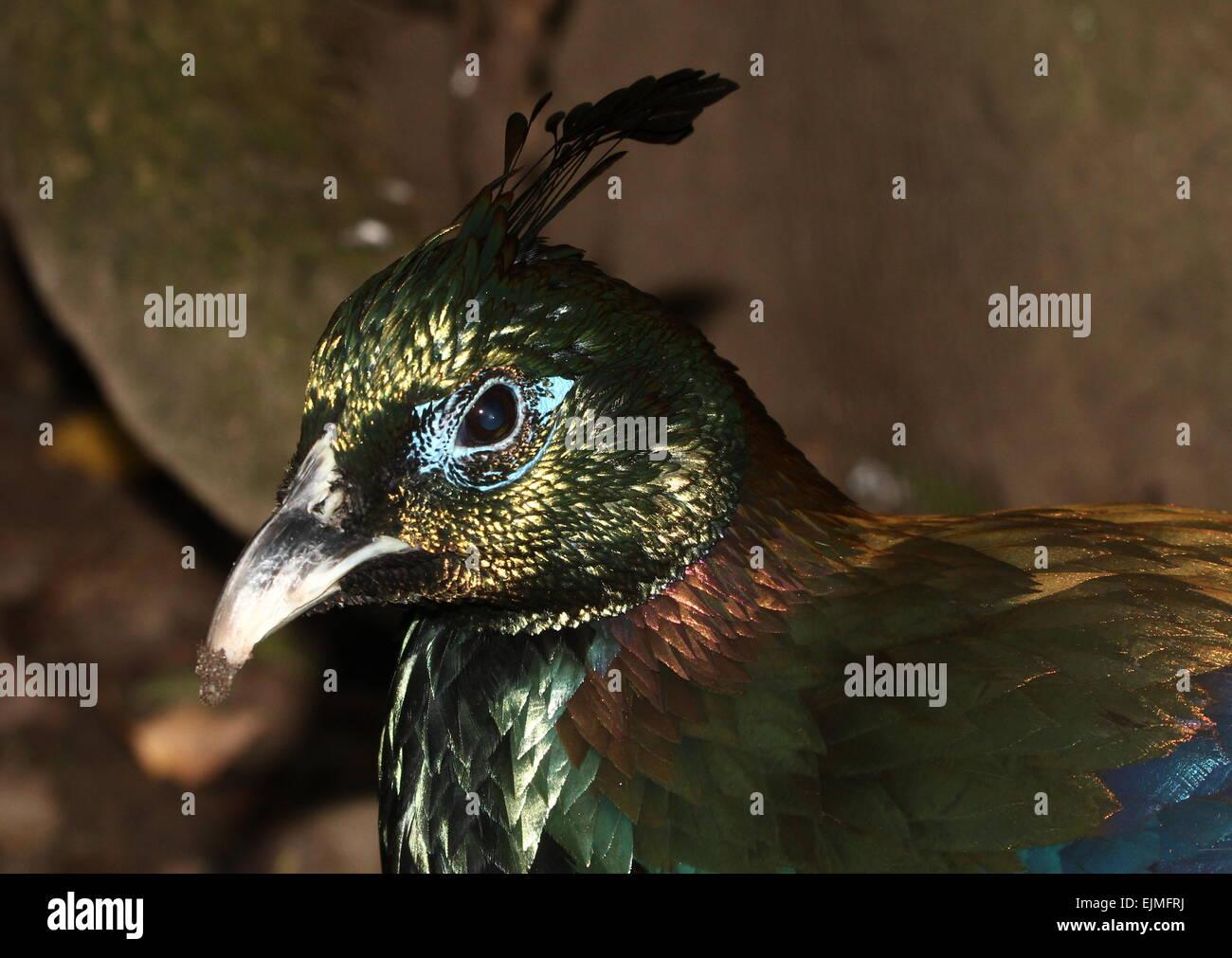 Close Up Of A Male Himalayan Monal Pheasant Lophophorus Impejanus A K A Impeyan