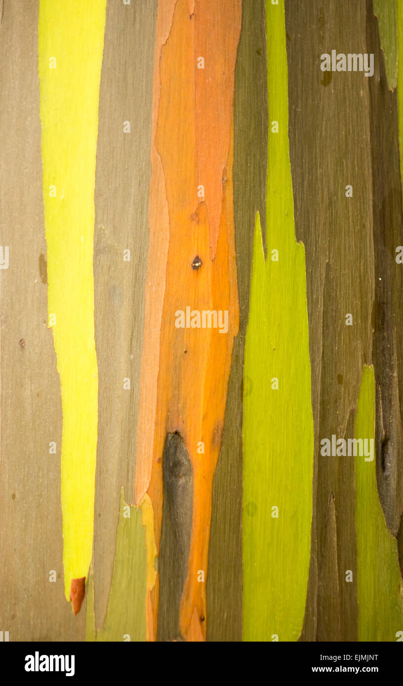 Close up of the colorful bark and tree trunk of the Rainbow Eucalyptus tree at Keahua Arboretum in Kauai, Hawaii, Stock Photo