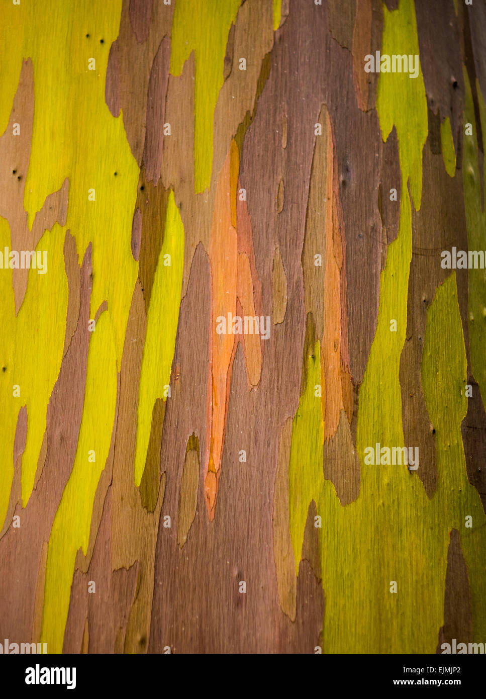 Close up of the colorful bark and tree trunk of the Rainbow Eucalyptus tree at Keahua Arboretum in Kauai, Hawaii, - Stock Image
