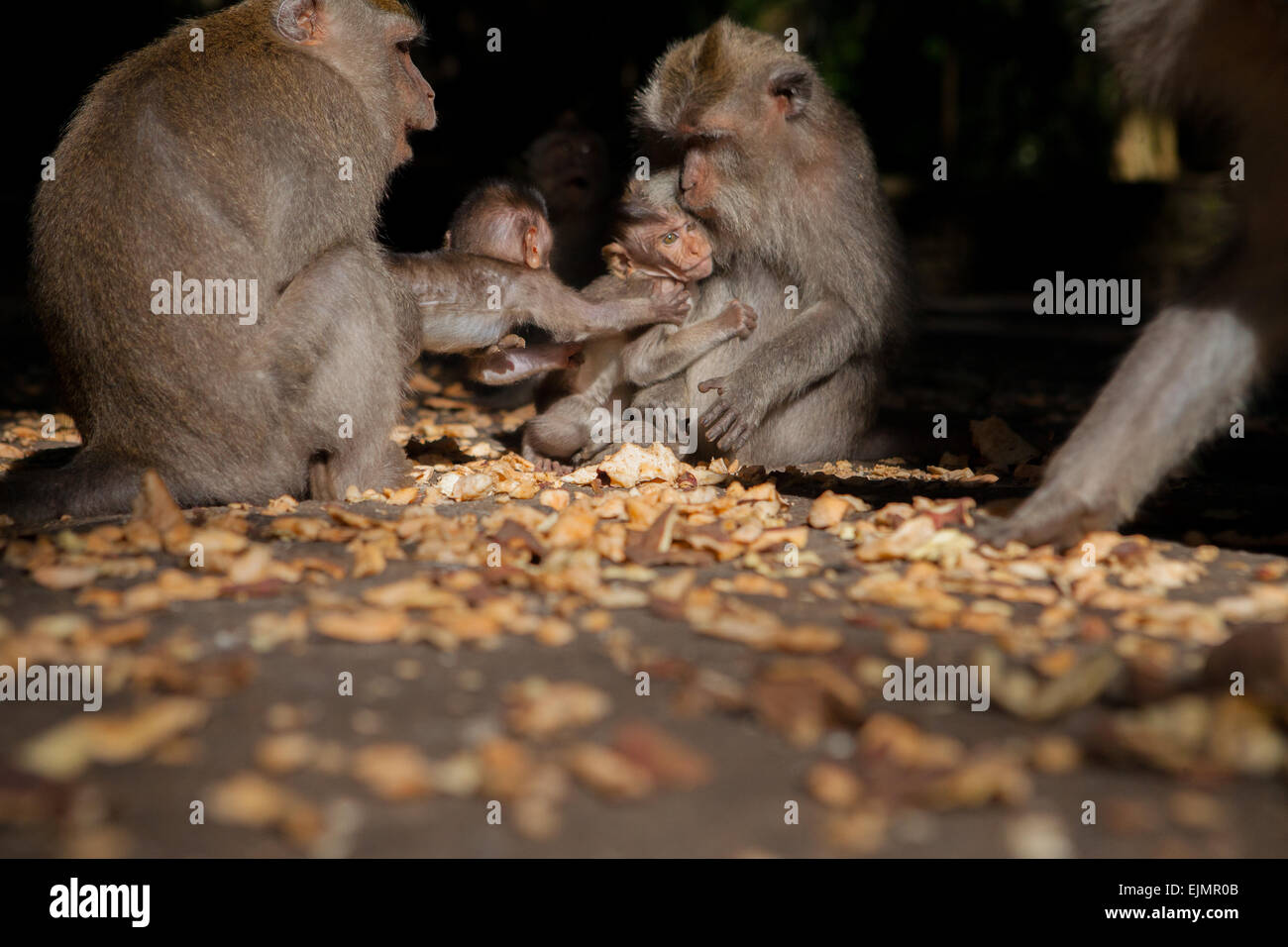 Long-tailed macaques (Macaca fascicularis) at Monkey Forest, Ubud, Bali, Indonesia. - Stock Image