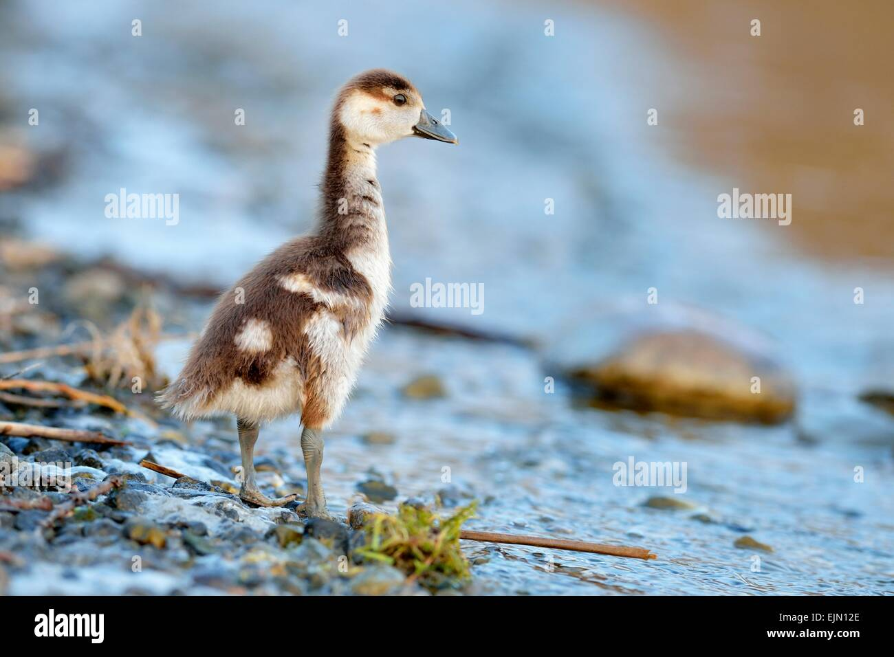 Egyptian goose (Alopochen aegyptiacus) chick, by the water, Zug, Canton of Zug, Switzerland - Stock Image