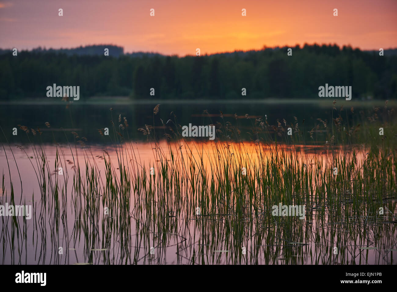 Finnish lake at sunset with water plants in focus and background intentionally blurred - Stock Image