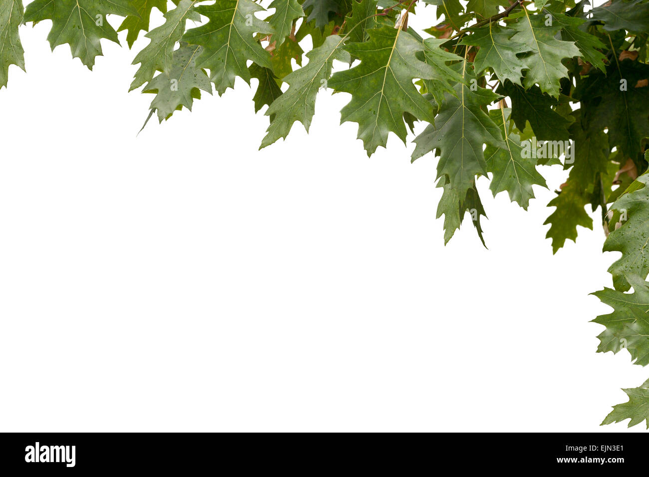 isolated frame in the upper right corner of the green maple leaves - Stock Image