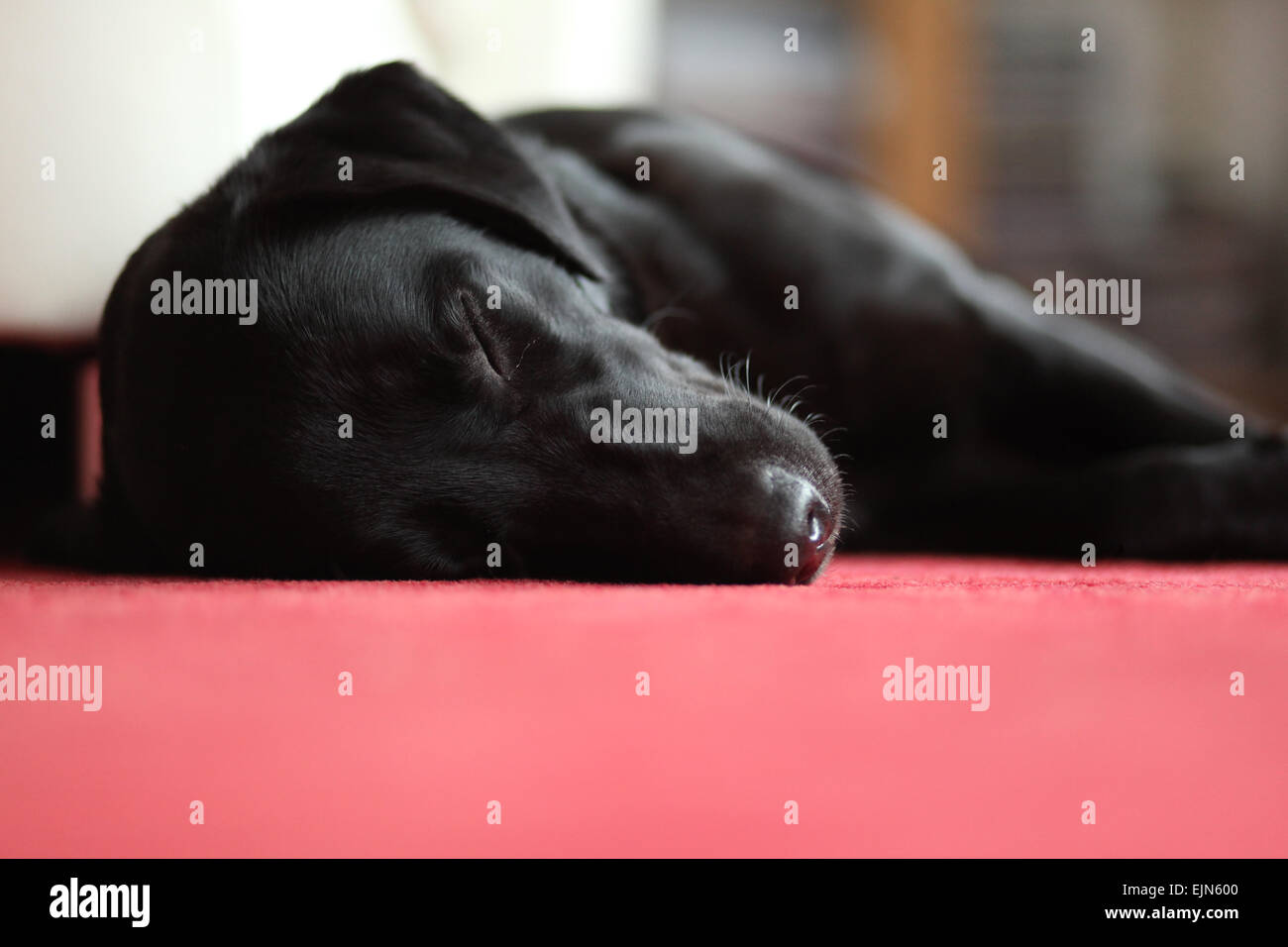 A young, black Labrador Retriever (female, 18 month old) sleeping on the carpet in the living room. Germany. - Stock Image