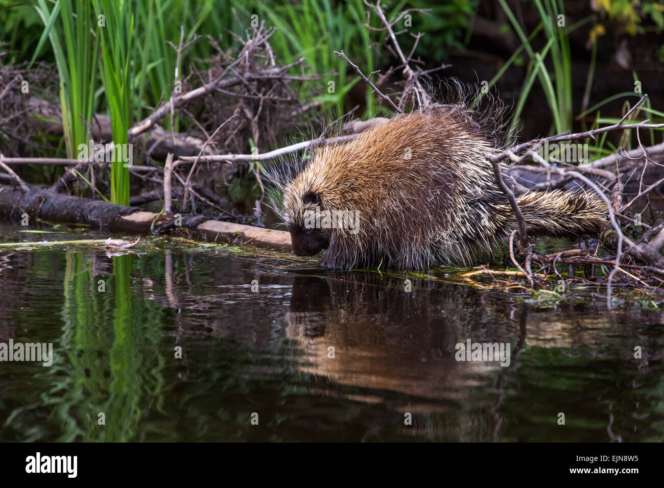 North American Porcupine on the Flambeau River Stock Photo