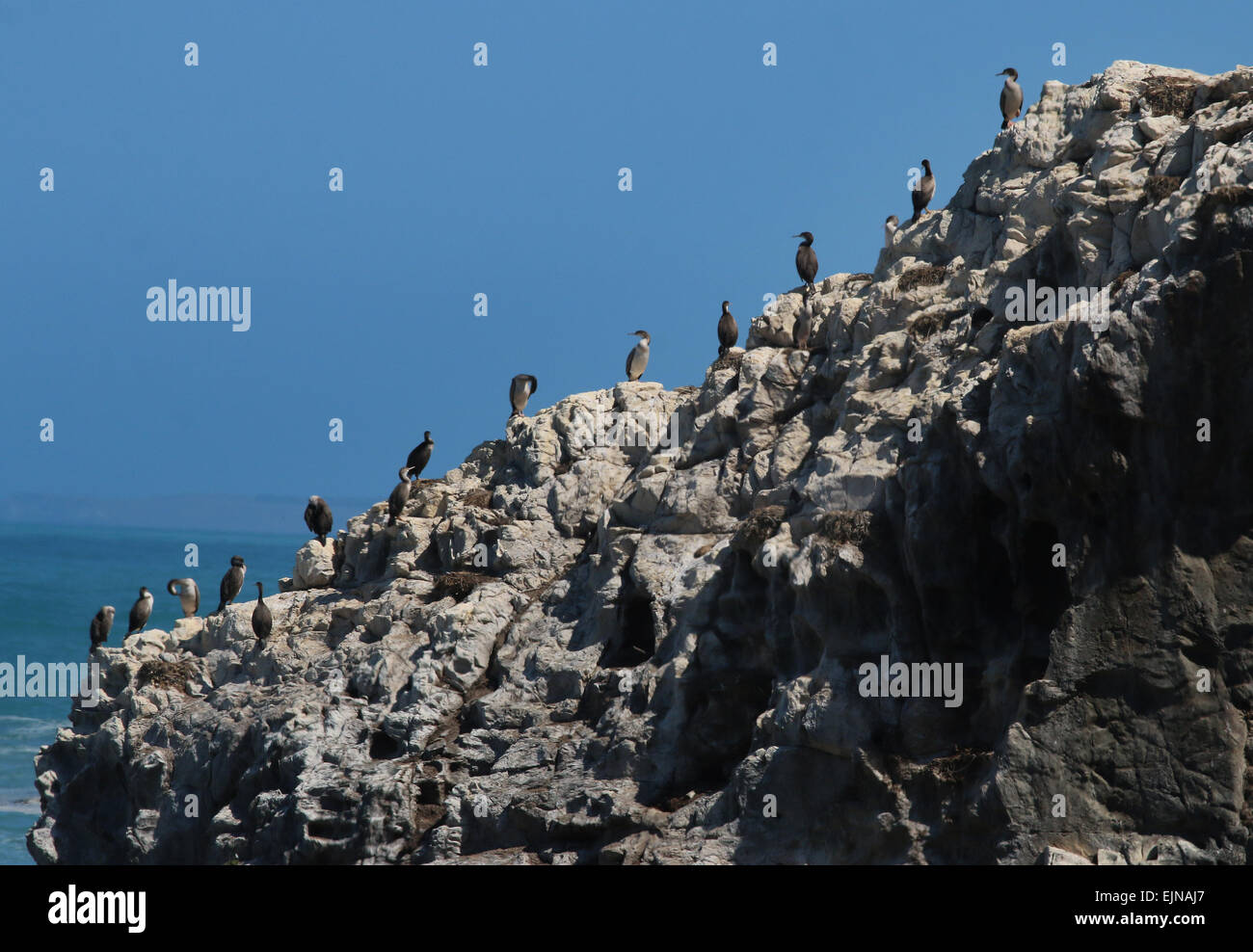 Pied Shag on cliff on ocean New Zealand - Stock Image