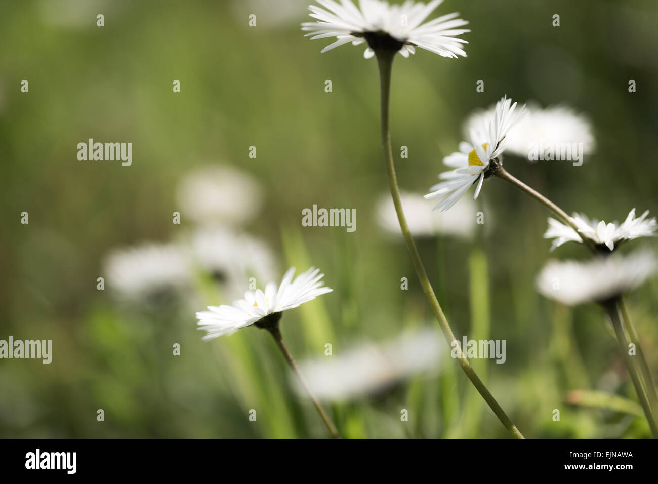 Flowers dancing in the wind stock photos flowers dancing in the daisy flowers dancing in the wind against a blurred green backdrop with other blurred daisies in izmirmasajfo