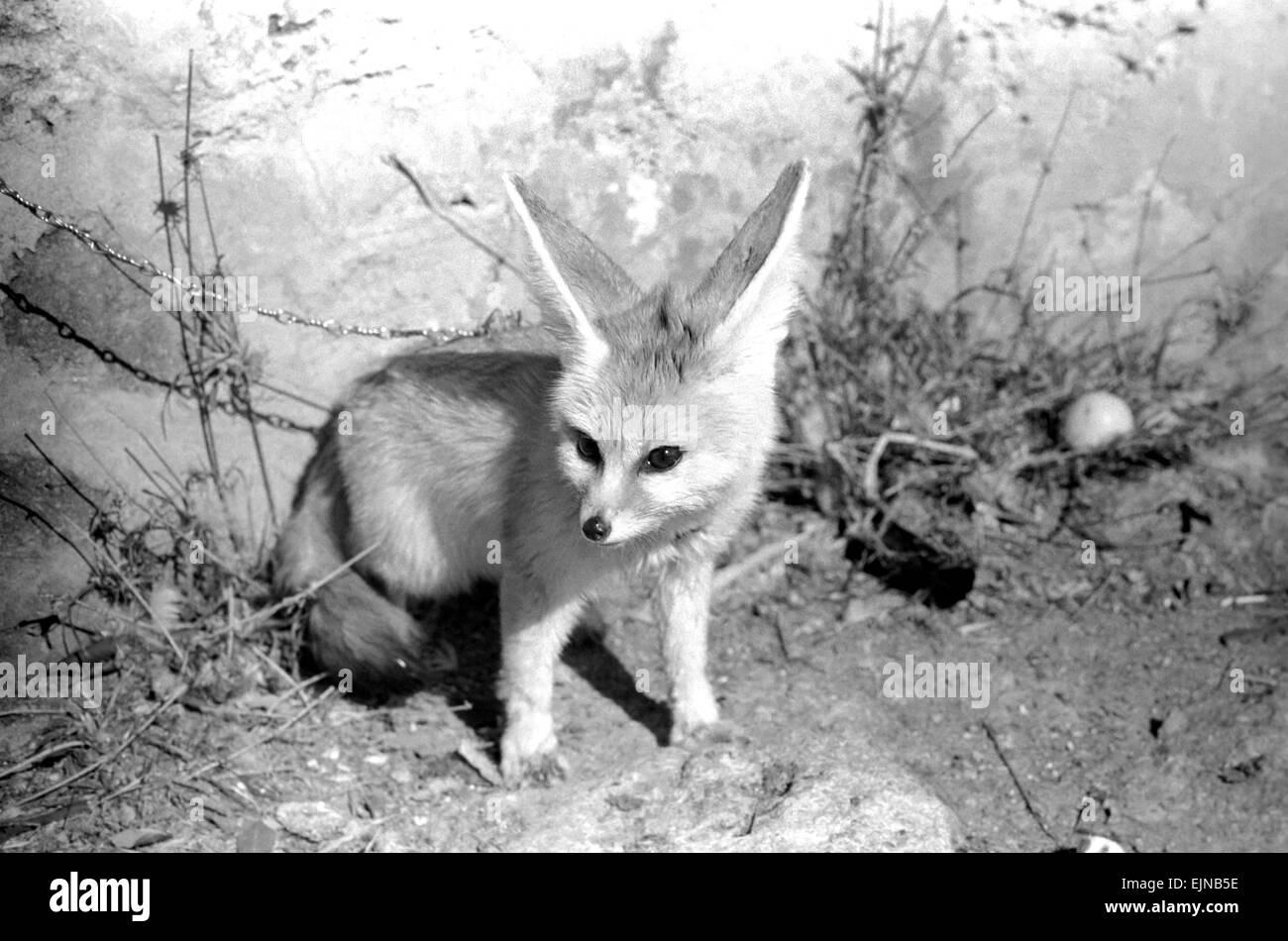 Rommella the desert fox February 1972 72-1465-029 - Stock Image