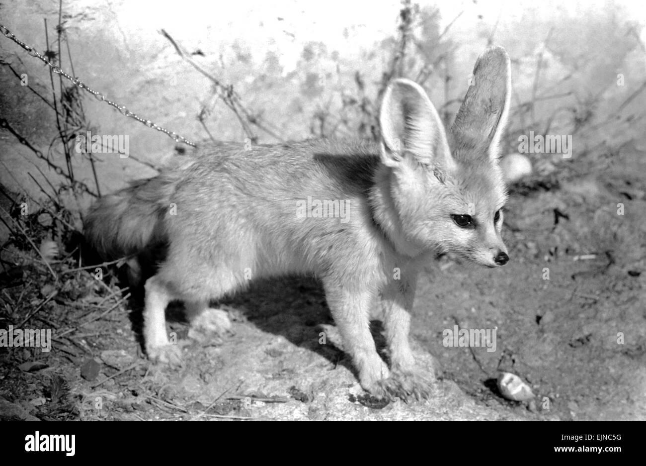 Rommella the desert fox February 1972 72-1465-028 - Stock Image