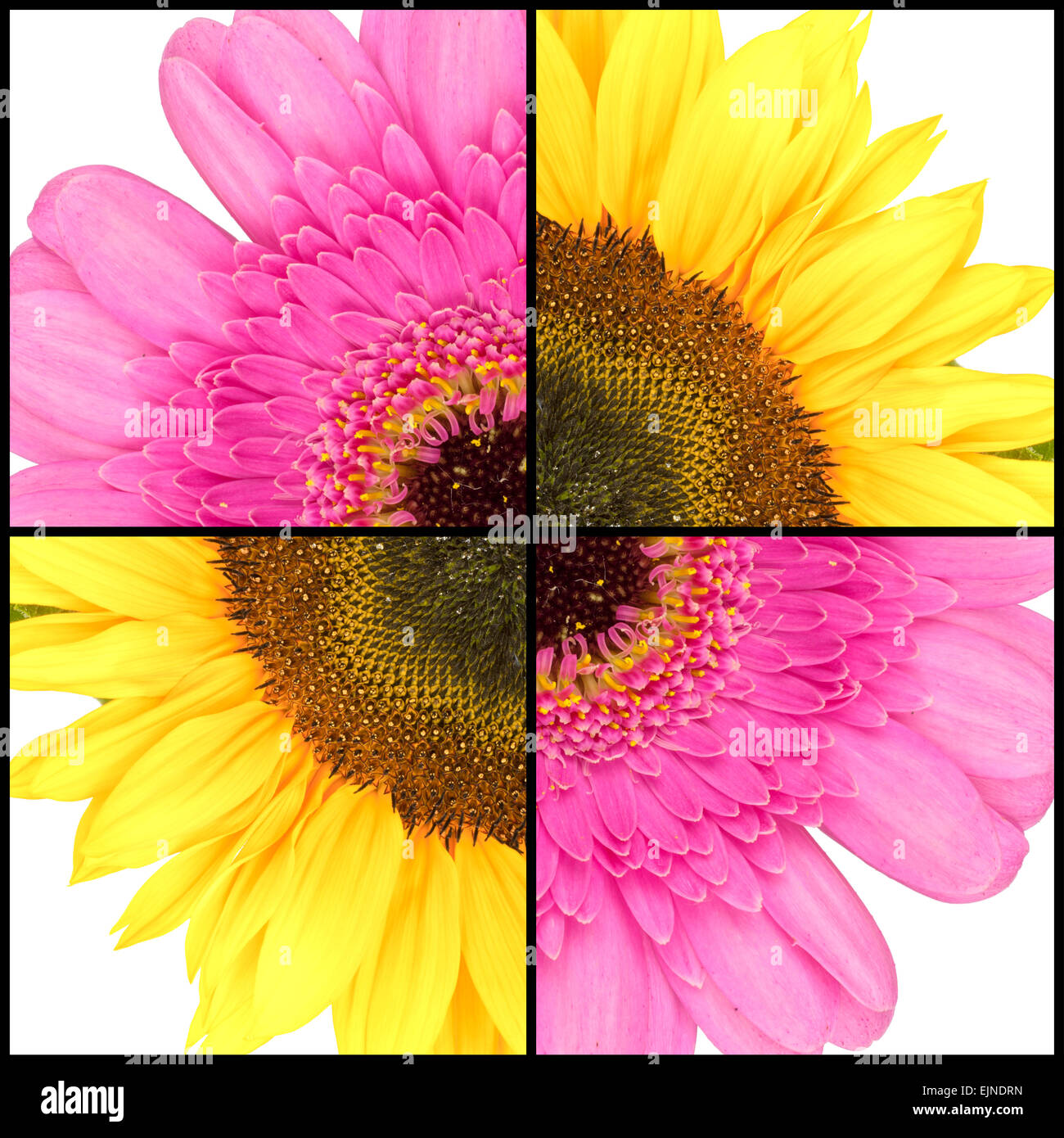 Collage of pink Gerbera and yellow Sunflower in a square frame - Stock Image