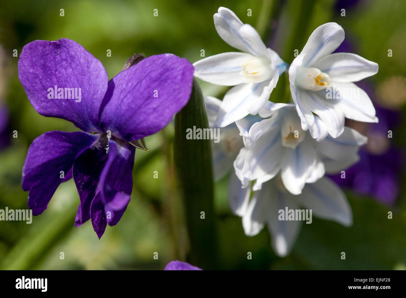 Sweet violet flowers Viola odorata - Stock Image