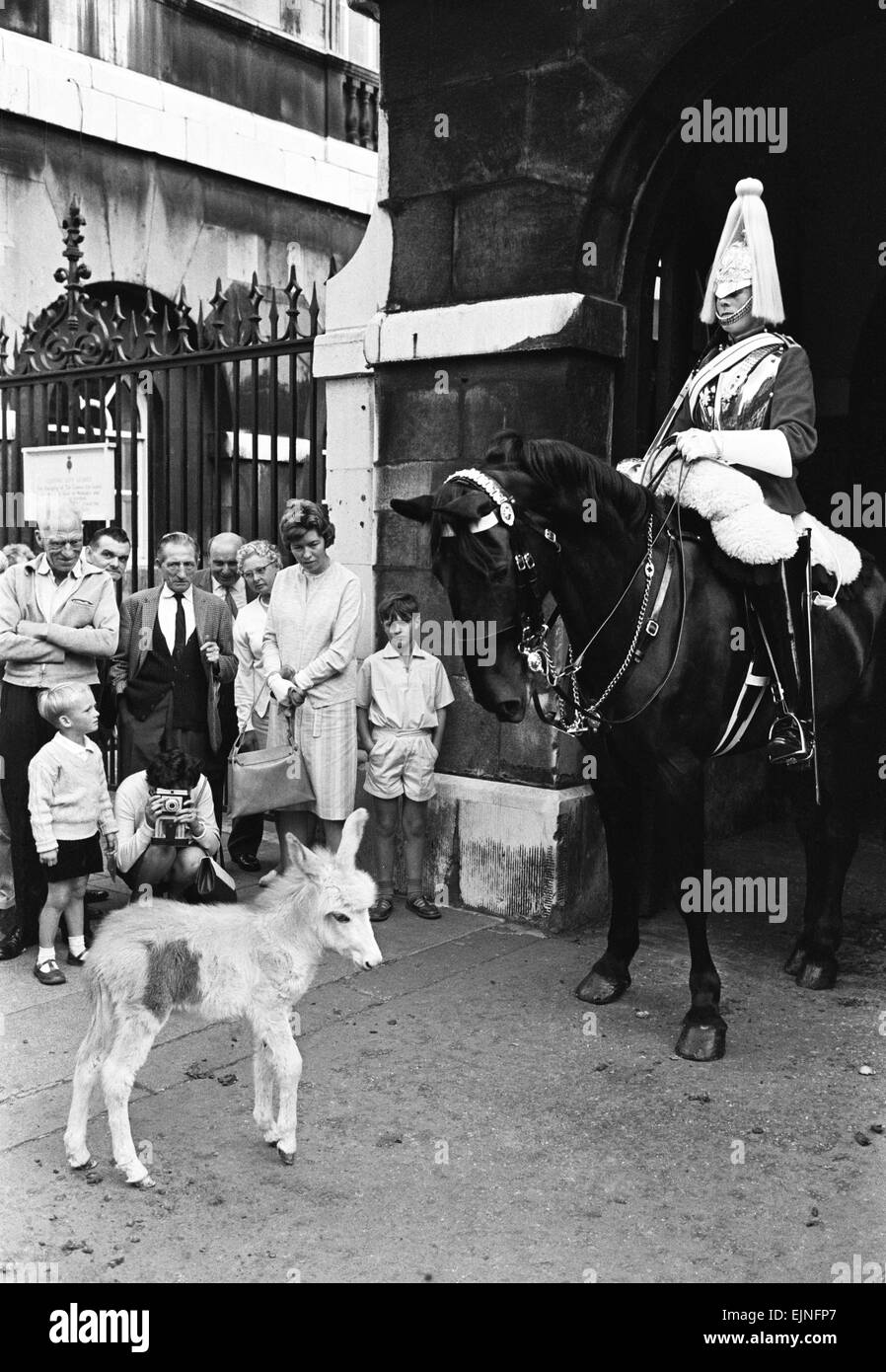 For the first time in the history of Wellington Barracks donkeys are being stabled with the horses of the Life Guards - Stock Image