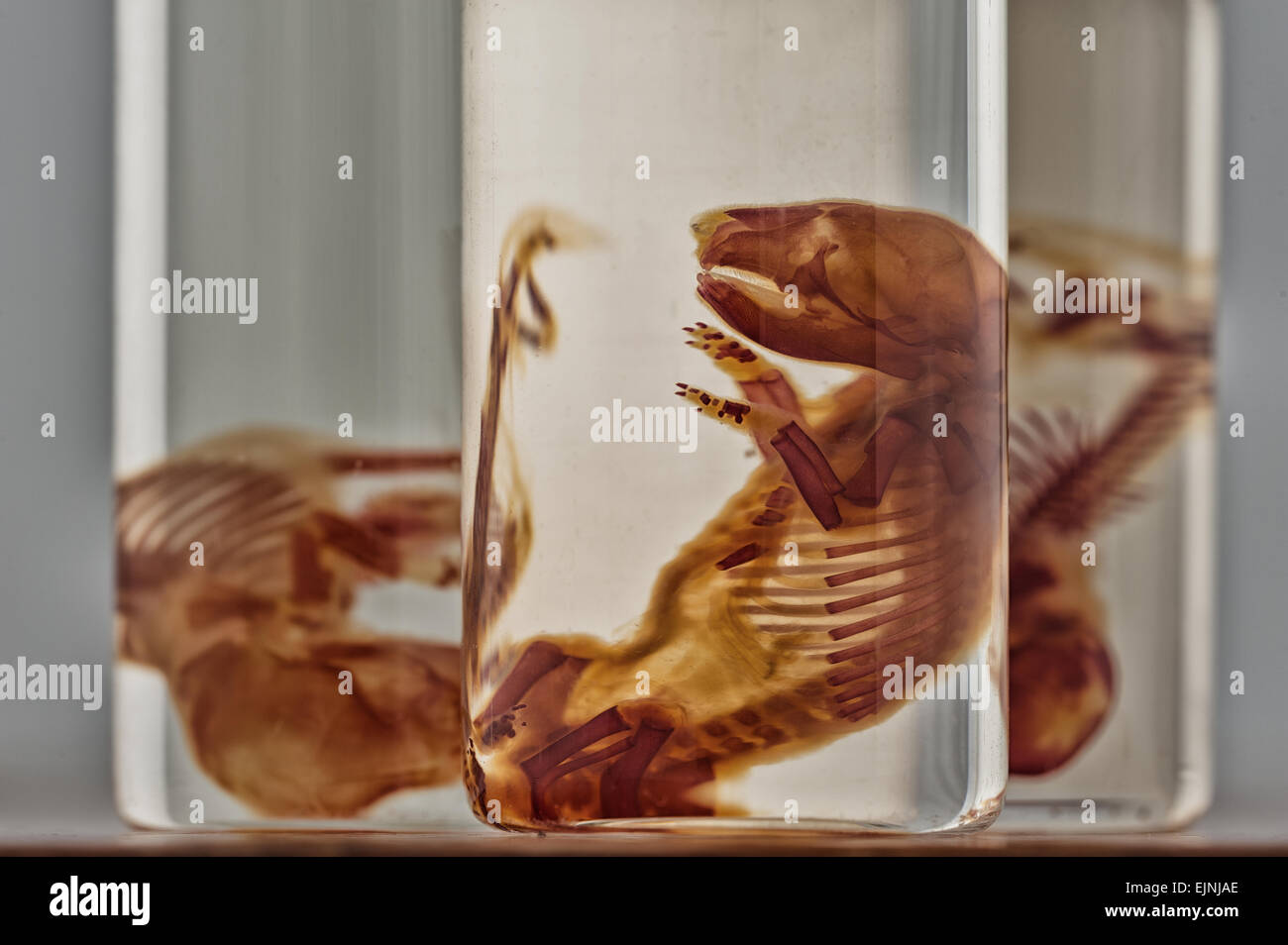 Scientific curiosities preserved rat fetus specimens in specimen jars showing stained skeletal bones and cartilage - Stock Image