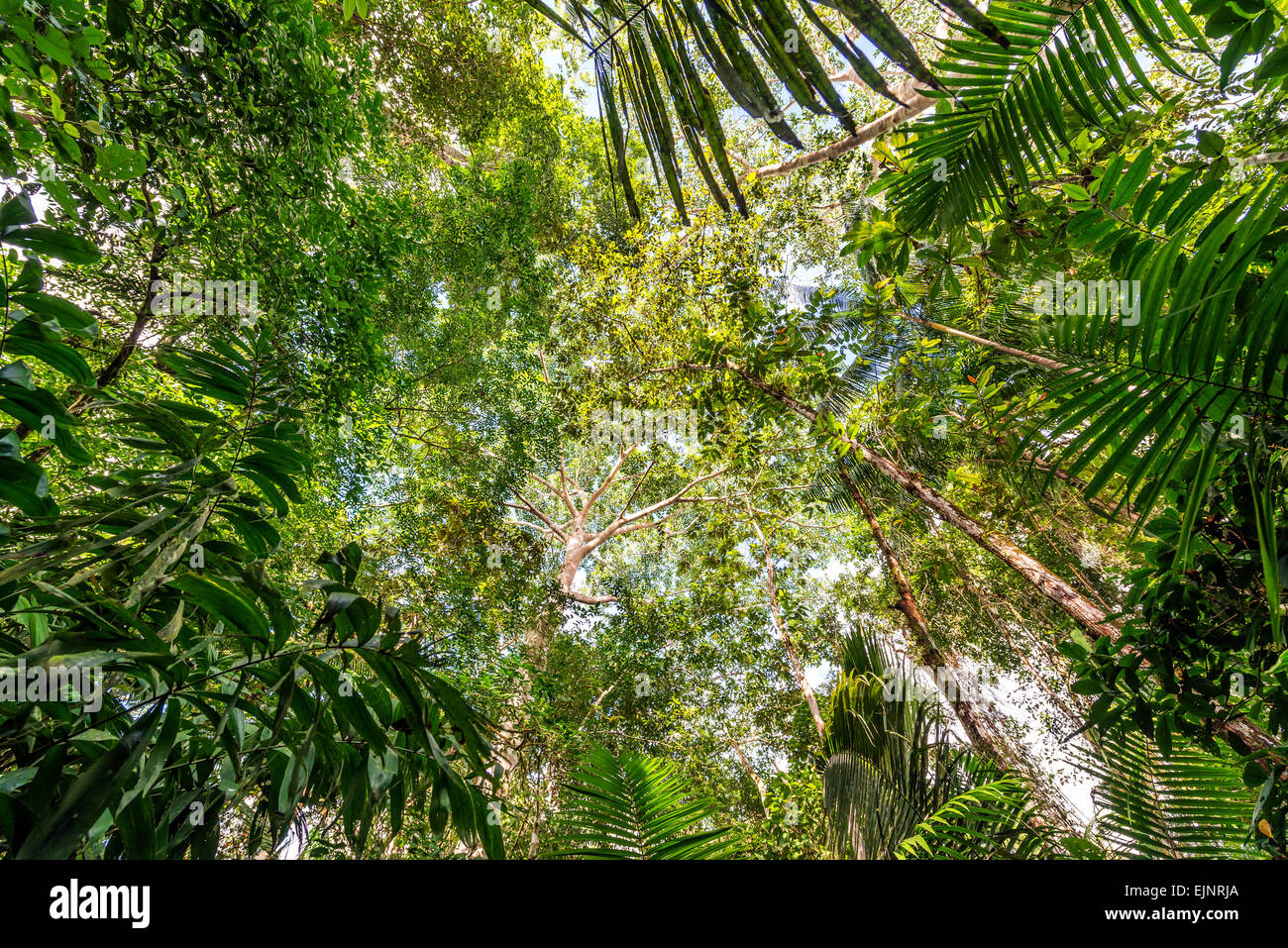 View of the thick lush green canopy of the Amazon rainforest near Iquitos Peru - & Amazon Rainforest Stock Photos u0026 Amazon Rainforest Stock Images - Alamy