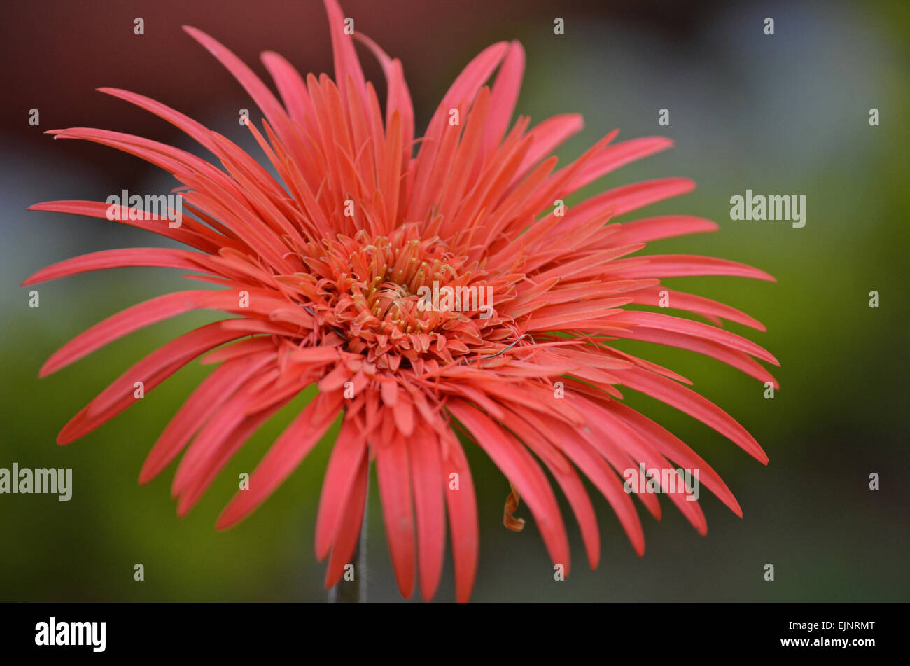 India red flower stock photos india red flower stock images alamy red gerbera flower at botanical garden in ootytamil naduindia stock image izmirmasajfo