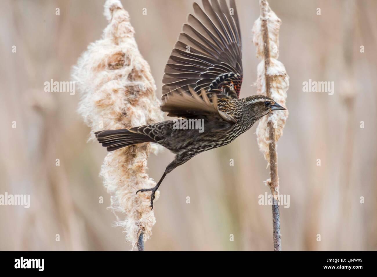 Red-winged Blackbird - Stock Image