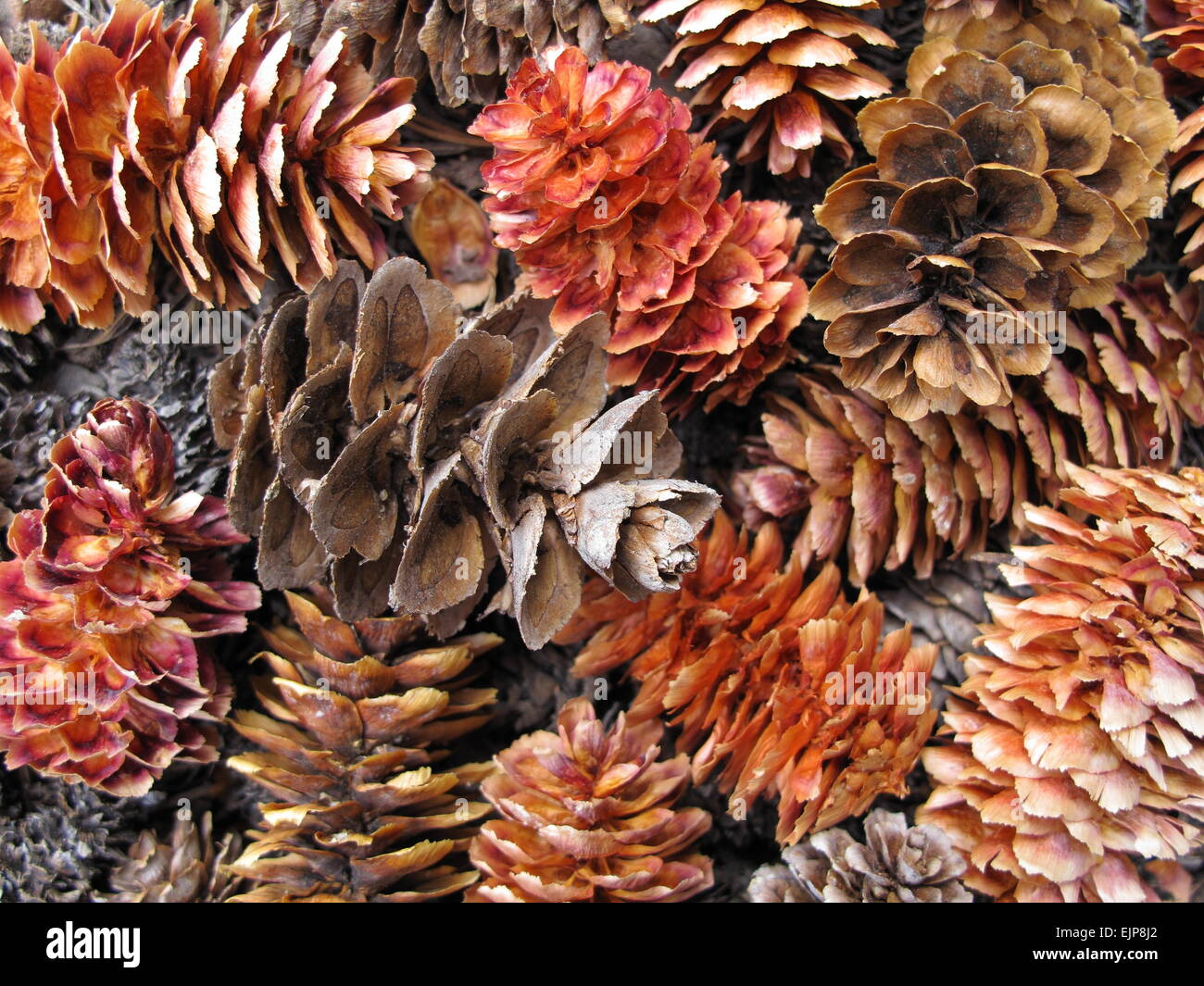 close-up pile of colorful pine cones - Stock Image