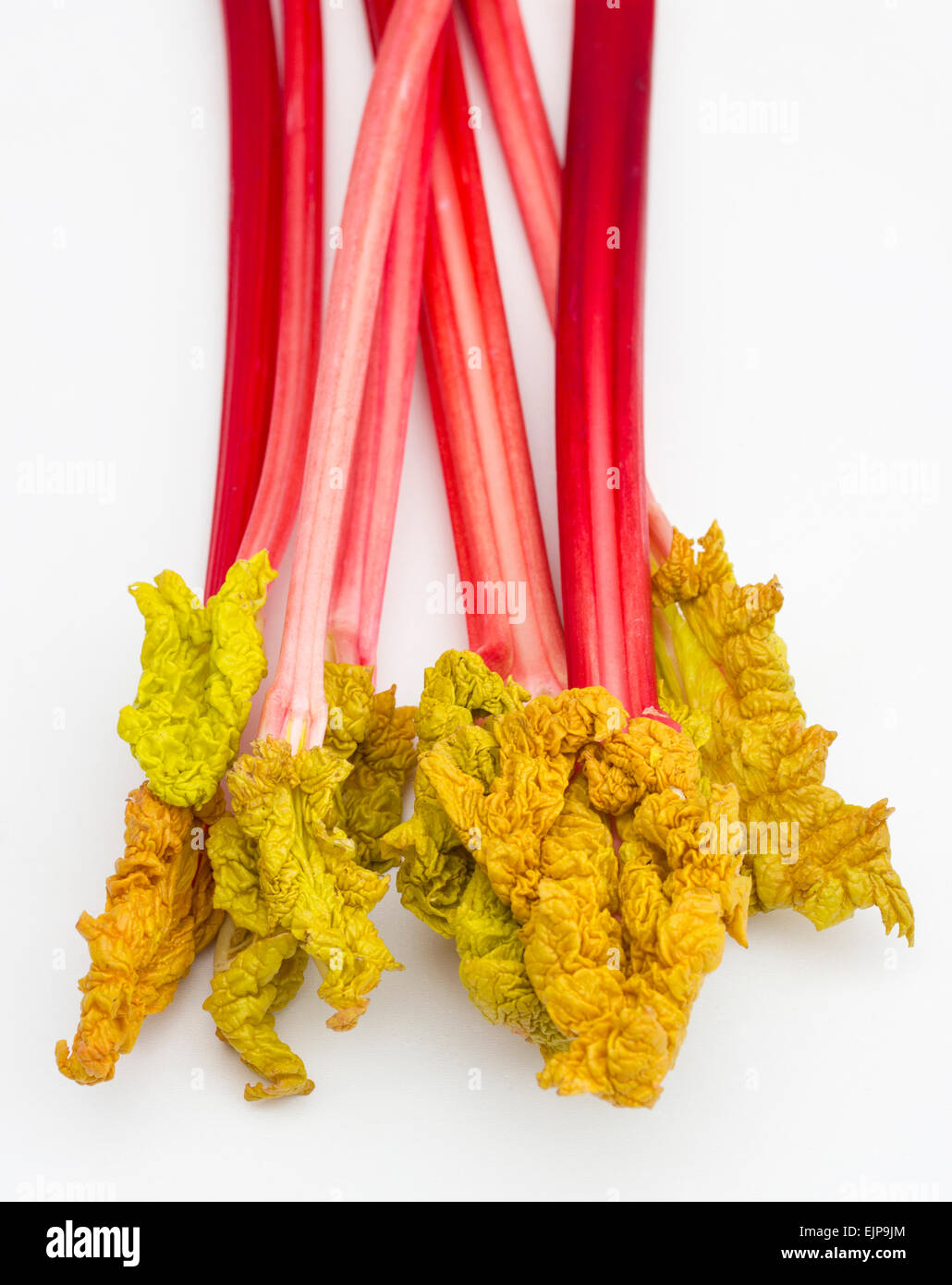 Fresh forced Yorkshire rhubarb with leaves - Stock Image