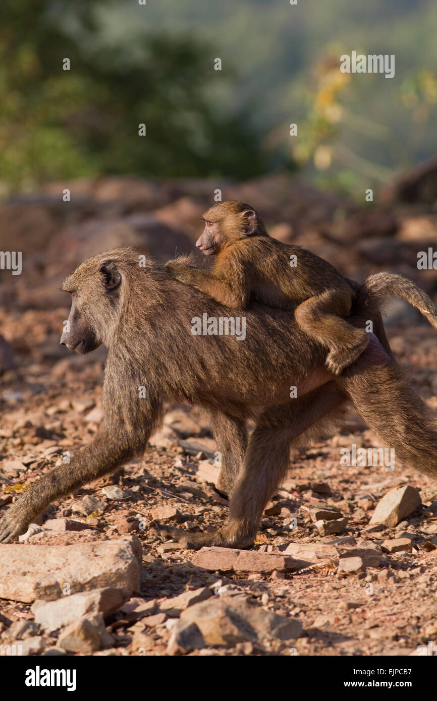 Olive or Anubis Baboons (Papio anubis). Female carrying young, 'pig-a-back'. Mole National Park. Ghana. - Stock Image