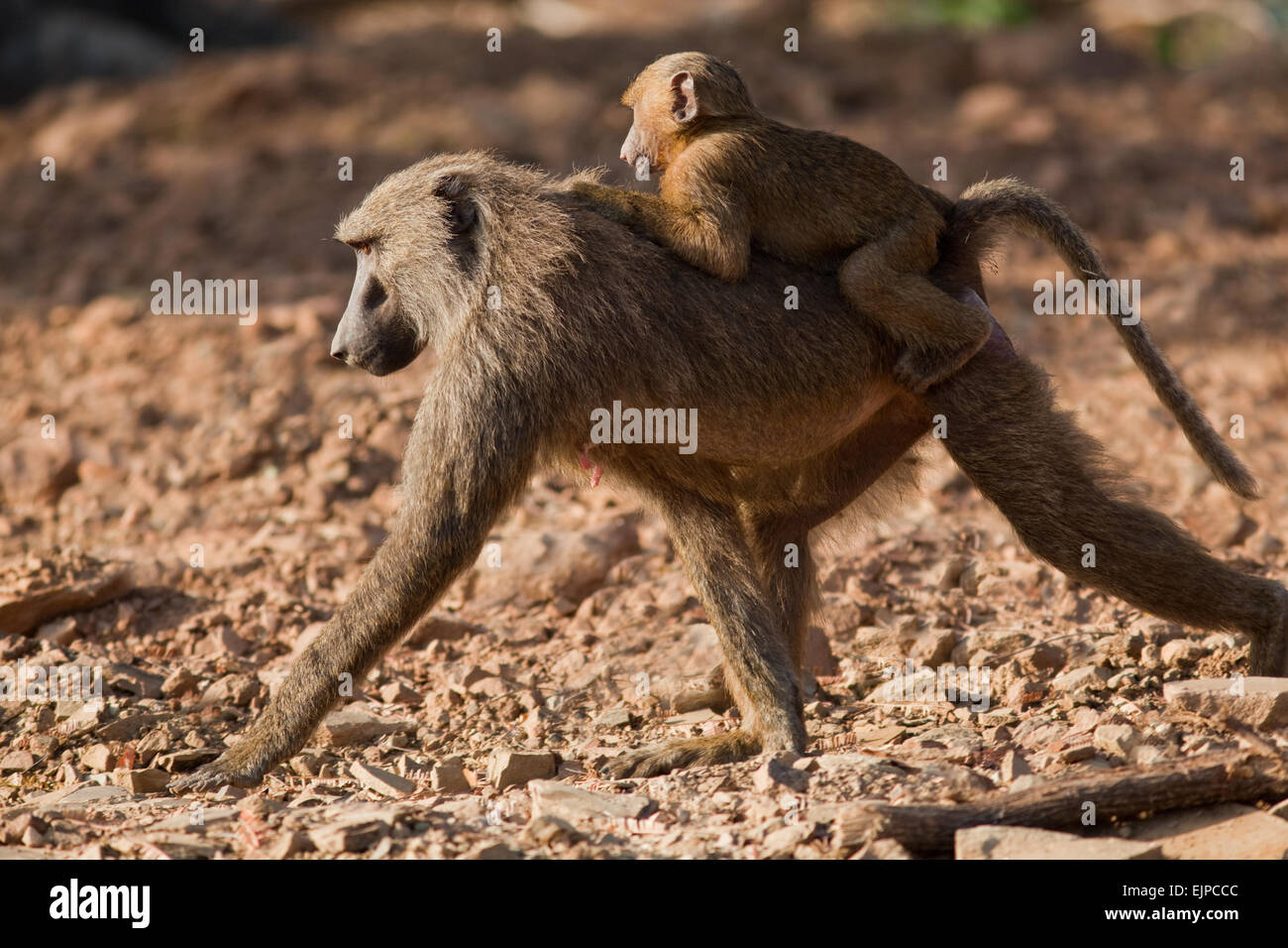 Olive or Anubis Baboons (Papio anubis). Female and young. Ghana. West Africa. Mole National Park. - Stock Image