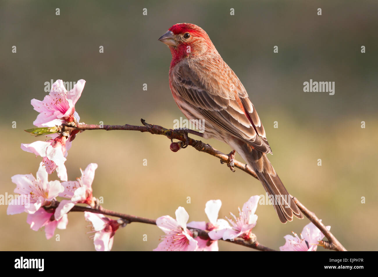 A male house finch perched on a peach tree branch - Stock Image