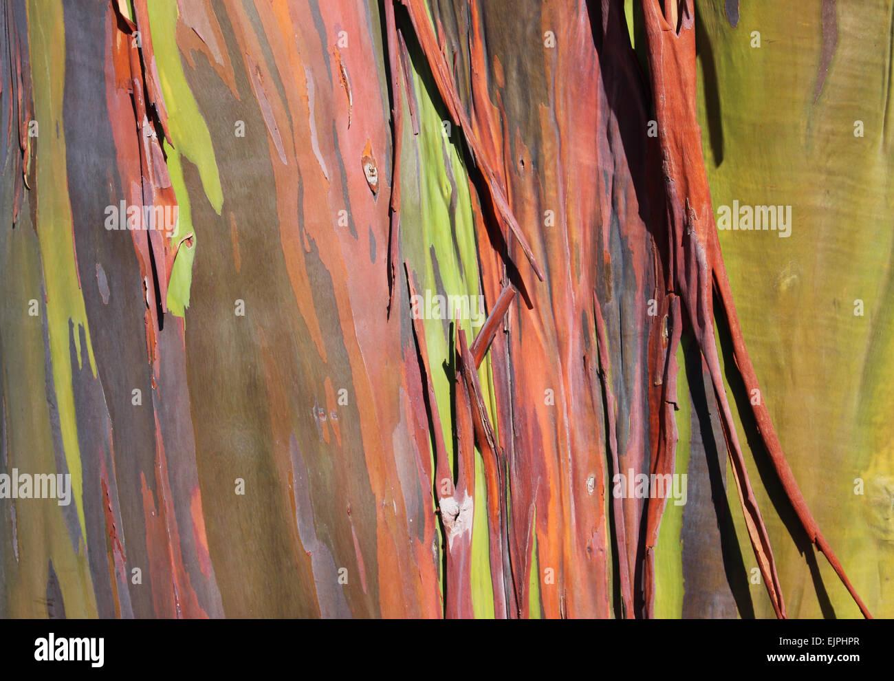 Rainbow Eucalyptus tree (Eucalyptus Deglupta) found in San Diego, California. - Stock Image