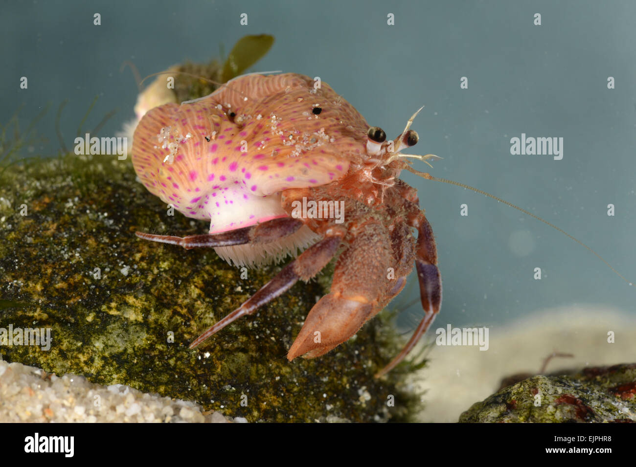 Hermit crab - Eupagurus prideaux with commensal Cloak Anemone - Adamsia carcinopados - Stock Image