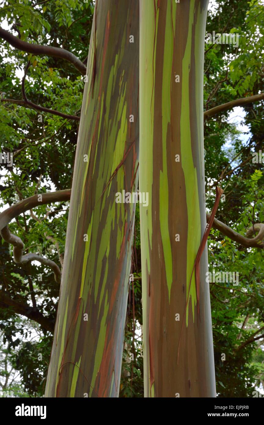 Keahua Arboretum and painted rainbow Eucalyptus trees along the Keahua stream in Kauai Hawaii Stock Photo