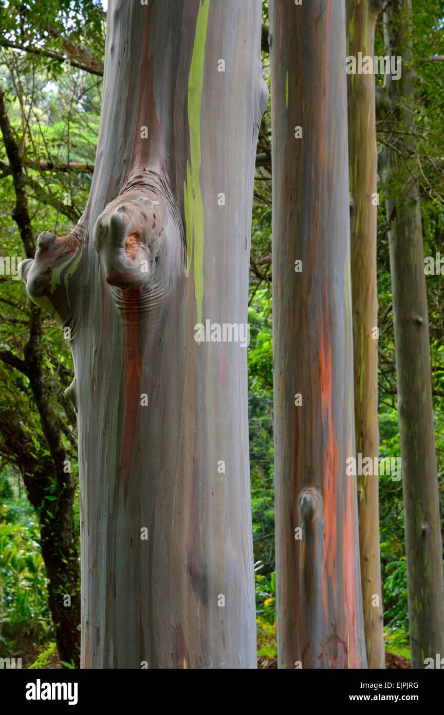 Keahua Arboretum and painted rainbow Eucalyptus trees along the Keahua stream in Kauai Hawaii - Stock Image