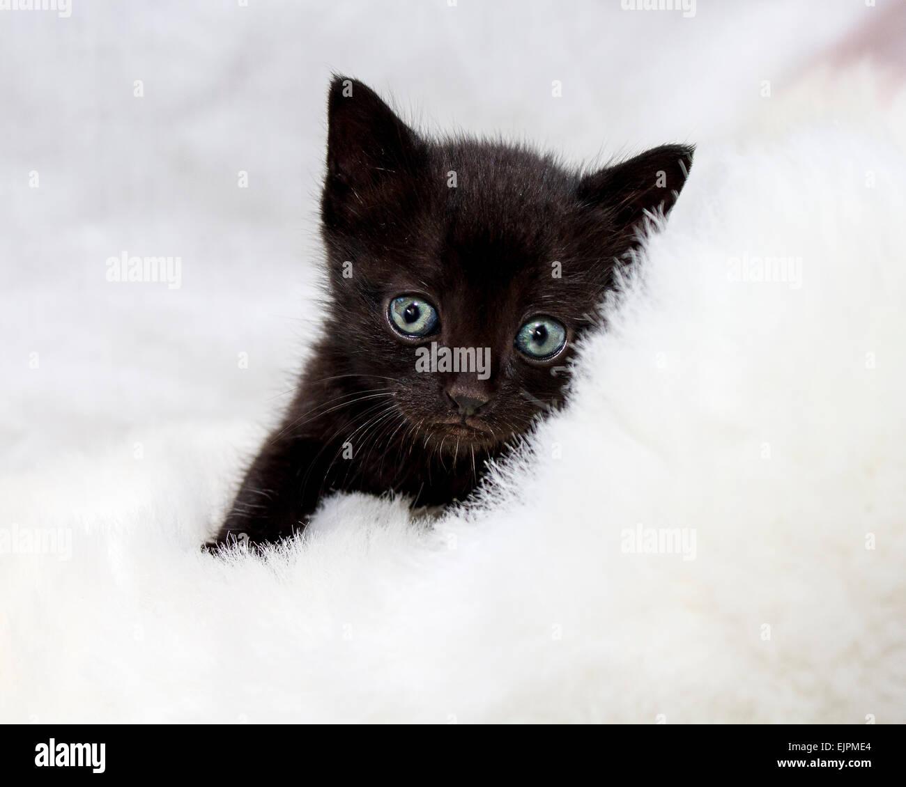 Black White Kitten Green Eyes Stock Photos Black White Kitten