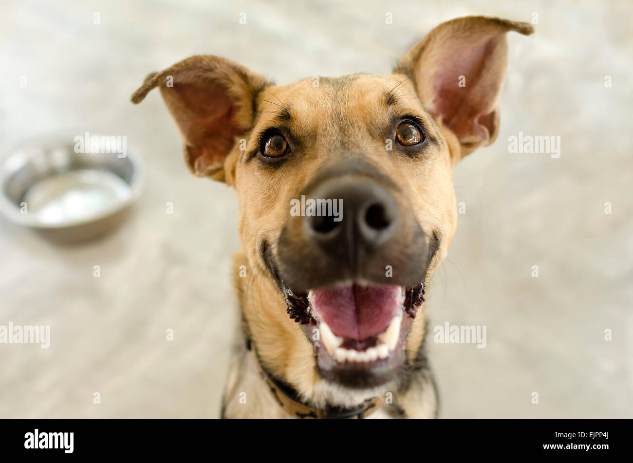 A happy dog is smiling waiting for his bowl to be filled. - Stock Image