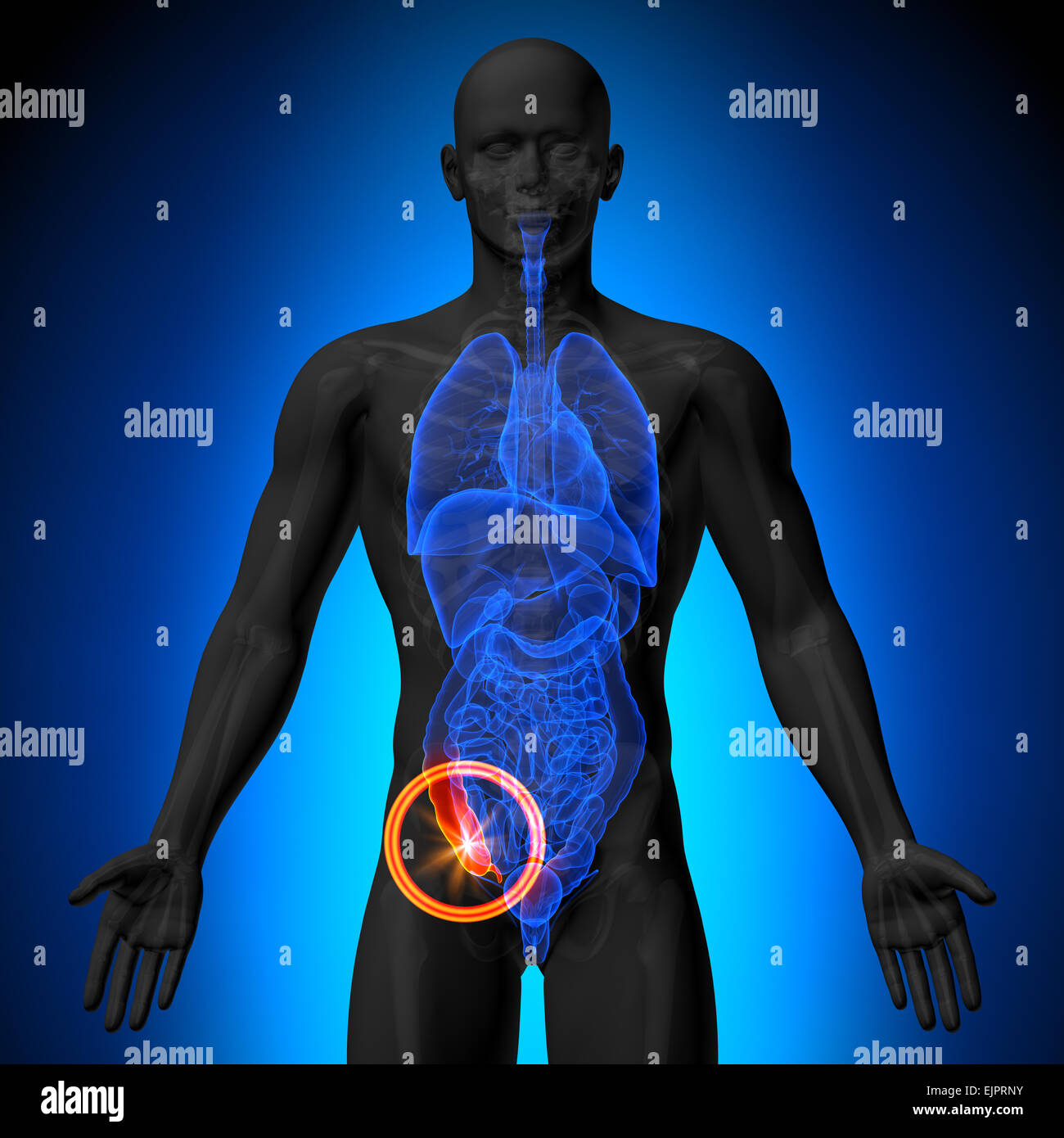 Appendix - Male anatomy of human organs - x-ray view Stock Photo ...