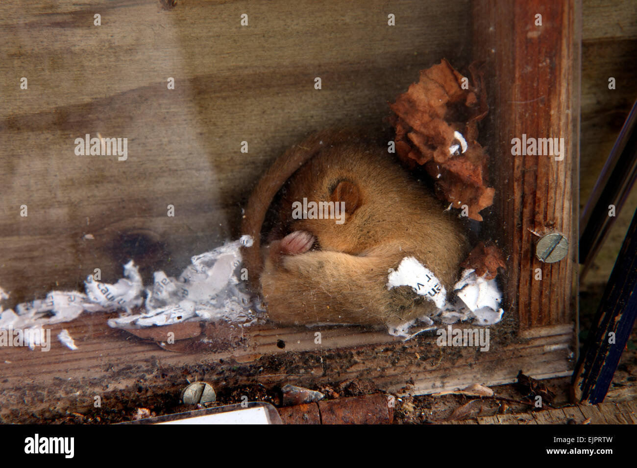 Dormouse - Muscardinus avellanarius - resting up in the day behind perspex card sales screen - Stock Image