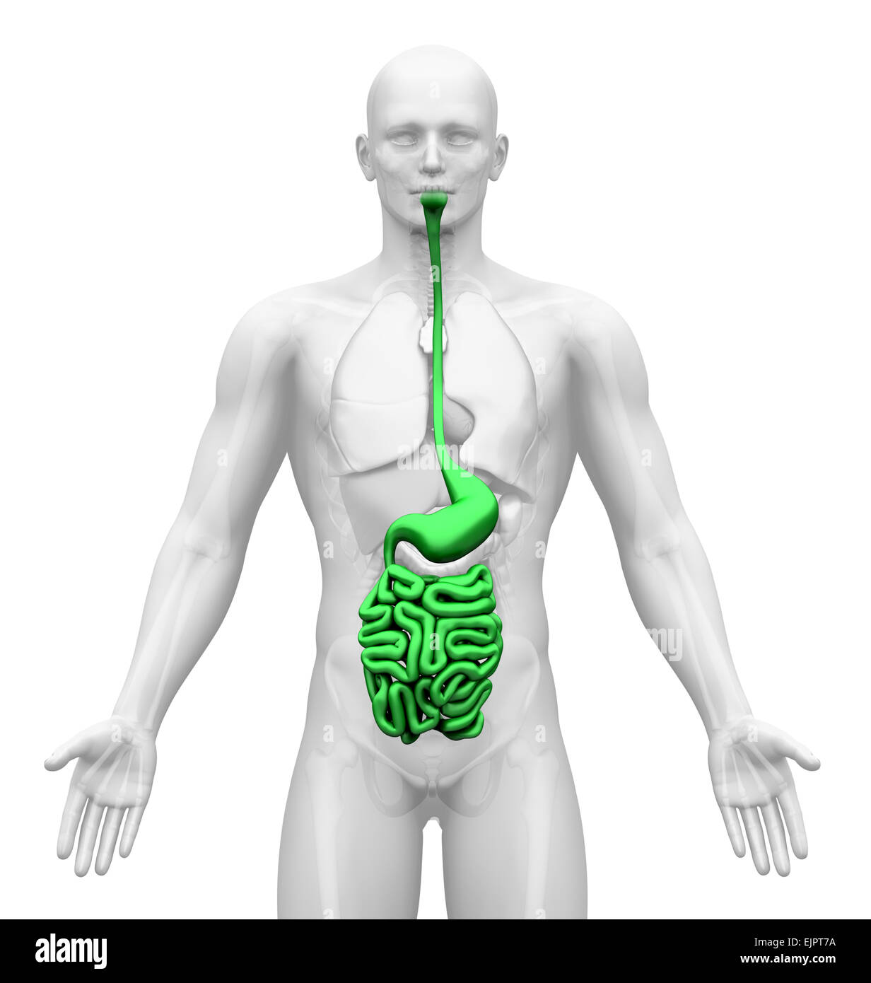 Male Guts Stomach Anatomy Stock Photo 80407246 Alamy