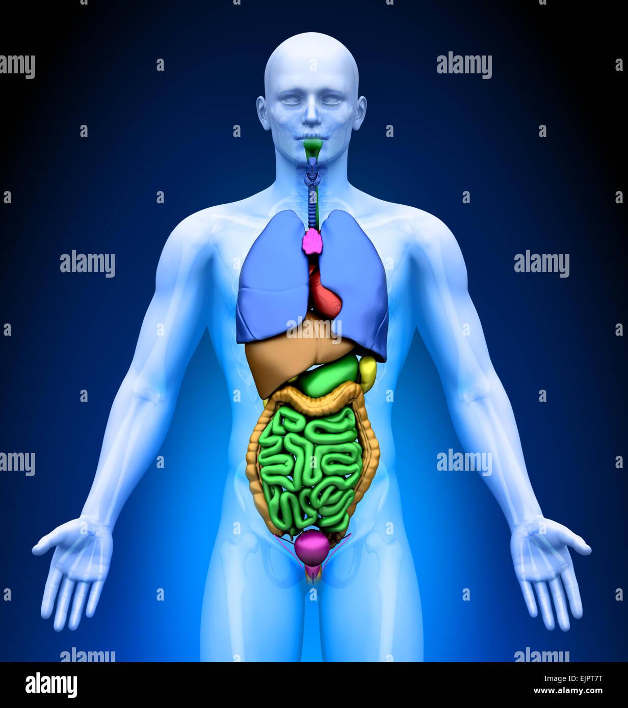Male Internal Organs Anatomy Stock Photo 80407260 Alamy