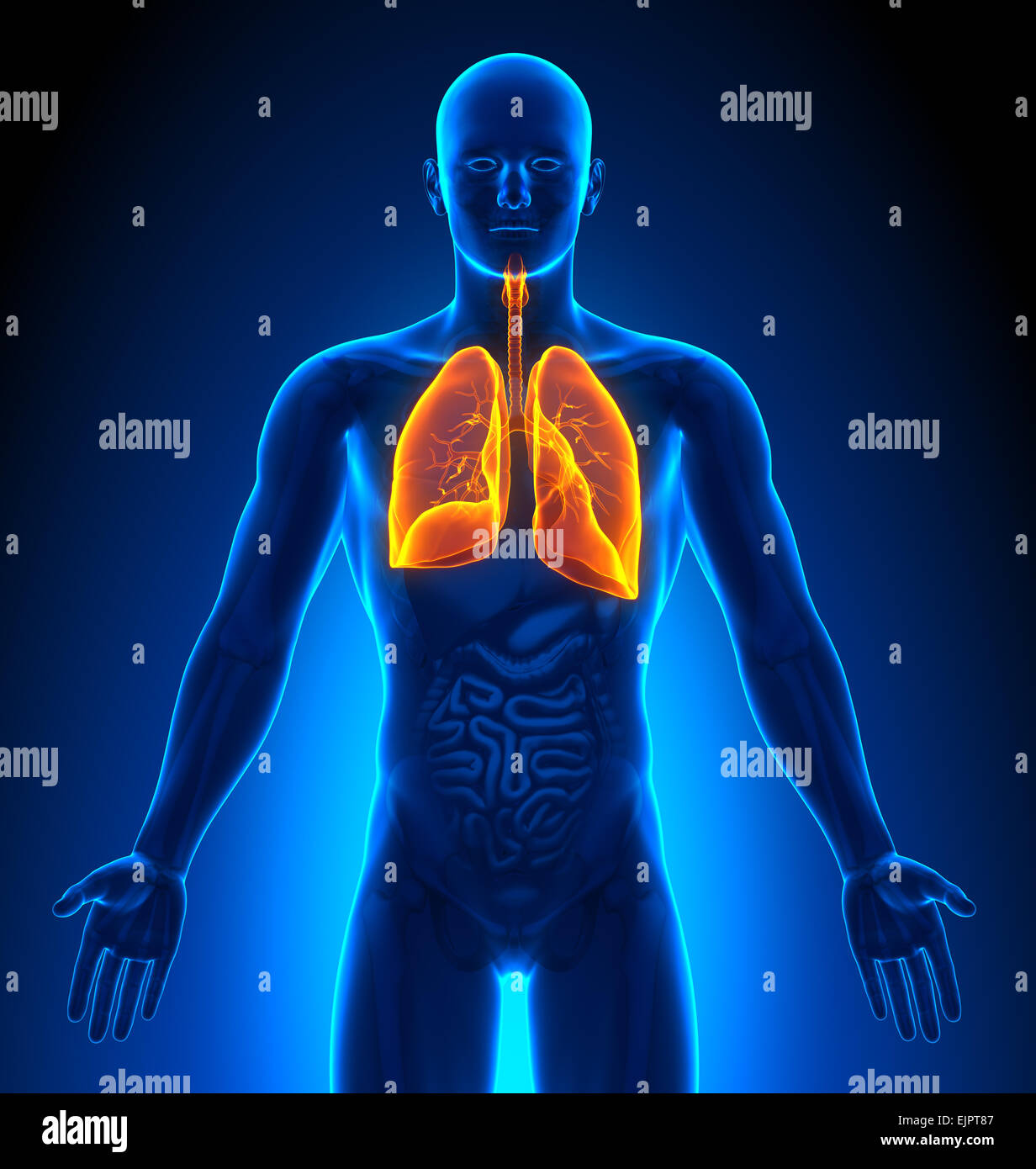 Male Lungs Anatomy xray view - Stock Image